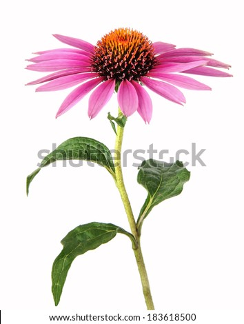 Echinacea for homeopathy