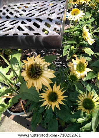 Echinacea hybrida 'Cheyenne Spirit' Pale yellow, Coneflower cultivar,  herbaceous perennial with terminal large flower heads with darker disc and pale yellow rays. #710232361