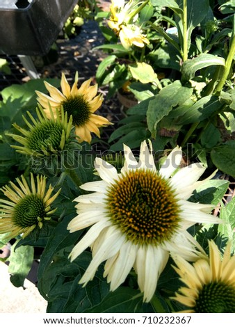 Echinacea hybrida 'Cheyenne Spirit' Pale yellow, Coneflower cultivar,  herbaceous perennial with terminal large flower heads with darker disc and pale yellow rays. #710232367