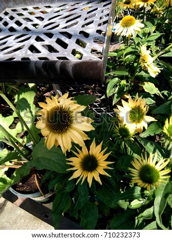 Echinacea hybrida 'Cheyenne Spirit' Pale yellow, Coneflower cultivar,  herbaceous perennial with terminal large flower heads with darker disc and pale yellow rays. #710232373