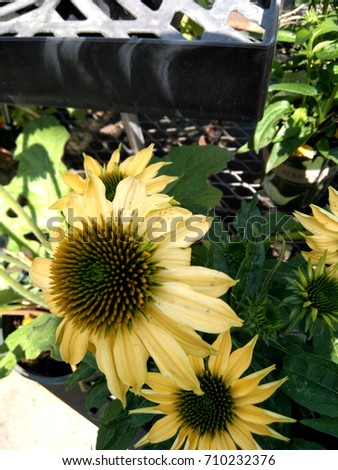Echinacea hybrida 'Cheyenne Spirit' Pale yellow, Coneflower cultivar,  herbaceous perennial with terminal large flower heads with darker disc and pale yellow rays. #710232376
