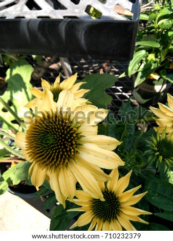Echinacea hybrida 'Cheyenne Spirit' Pale yellow, Coneflower cultivar,  herbaceous perennial with terminal large flower heads with darker disc and pale yellow rays. #710232379