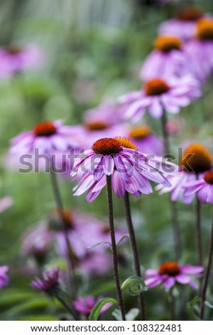 Echinacea is a genus of herbaceous flowering plants in the daisy family, Asteraceae. The nine species it contains are commonly called purple coneflowers in Central Park, New Yortk City