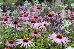 Echinacea 'Pink Parasol' and Echinacea pallida 'pale purple' in flower