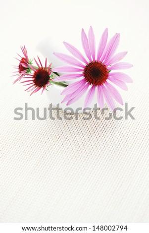 echinacea purpurea alternative medicine - beauty treatment - stock photo