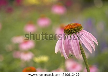 Echinacea purpurea purple cone flower in summer