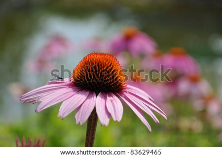 Echinacea spiny center with red flowerhead