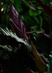 Echinodorus aflame. Dense smooth leaves, dark tones. Image of leaves to create a poster with a botanical theme.