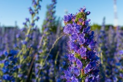 Echium vulgare vipers bugloss blooms in a meadow