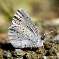 Echo azure butterfly sun bathing on dirt trail. Foothills Park, Santa Clara County, California, USA.