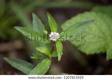 Eclipta prostrata flower #1207813429