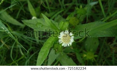 Eclipta prostrata or false daisy,