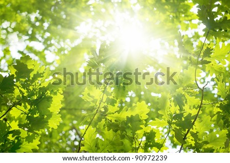 Ecological background - green leaves of oak, bright sun