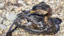Ecological disaster. Oil spill, birds dying on the shore