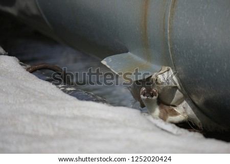Ecology. Image of the animal Mustela nivalis  Weasel. The animal lives in a high pressure pipeline #1252020424