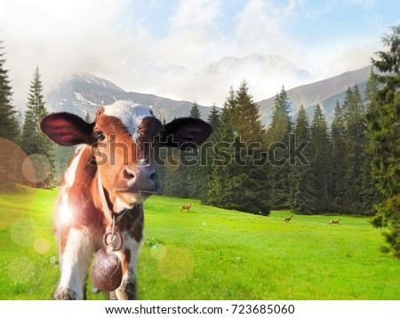 Ecotourism to the Alpine pastures, where the most happy cows graze and give the most delicious milk. A cow, a calf in the background of the mountains. Roe deer run in the background. #723685060