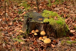 Ecru and orange mushrooms or fungi with small round caps and miniature stems growing next to a moss covered stump of an old tree seen in the middle of a forest next to dry withered autumn leaves