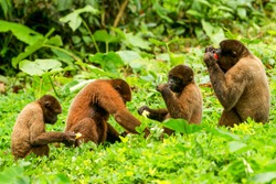 ecuador amazon monkey rainforest jungle animals family group chorongo forest family of chorongo monkey in ecuadorian jungle wildlife shoot ecuador amazon monkey rainforest jungle animals family group