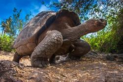 Ecuador. Galapagos Islands. Galapagos tortoise stands on legs.