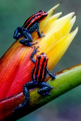 Ecuador has one of the highest numbers of amphibians in the world.  Some are exquisitely beautiful, like this pair of endemic poison dart frogs from near the town of Tena, in the Amazon Basin.