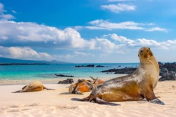 Ecuador. The Galapagos Islands. Seals are sleeping on the beach. Beaches of the Galapagos Islands. Pacific Ocean. Seals in Ecuador. Animals of the Galapagos Islands.
