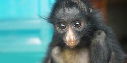 Ecuadorian Spider Monkey baby. Common names: Mono arana, maquisapa. Scientific name: Ateles belzebuth