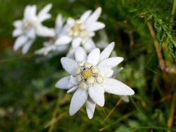 Edelweiss flowers close-up: Alpine Edelweiss flowers, photo taken in Austrian Alps, focus on foreground