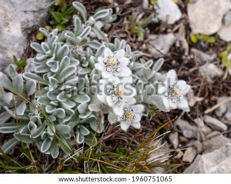 Edelweiss (Leontopodium nivale) on the path to Monte Amaro in the Majella national park, mountain range of the Apennines. Maiella mountain massif, Abruzzo, L'Aquila. Stock fotó ©