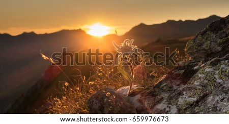 Edelweiss on rock in the evening sun in the Alps as a panorama #659976673