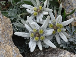 Edelweiss or Leontopodium, belongs to the protected Alpine flowers, picture taken in the European Alps