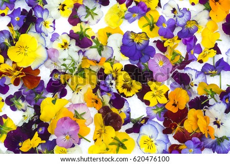 Edible flowers / Food flowers / colorful  viola flowers isolated on white background.