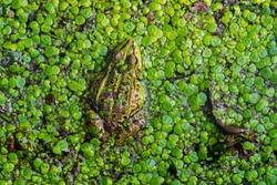 Edible frog / common water frog / green frog (Pelophylax kl. esculentus / Rana esculenta) in pond covered in duckweed