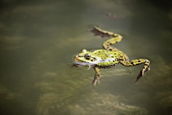 Edible Frog (Rana esculenta) swimming in the water