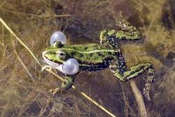 Edible Frog; Rana lessonae
