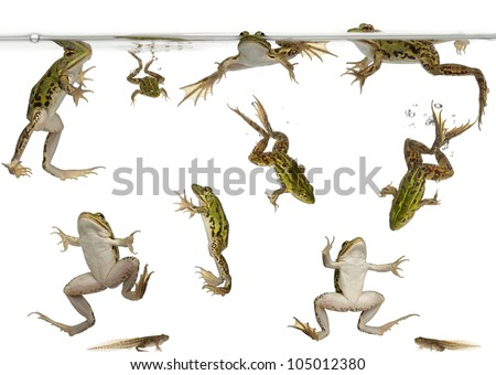 Edible Frogs, Rana esculenta, and tadpoles swimming under water against white background