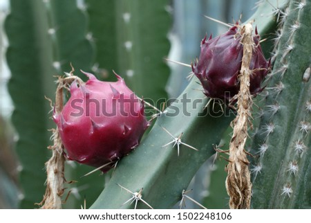 edible fruits of queen of the night #1502248106