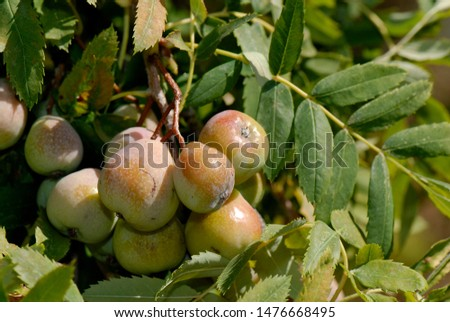 edible fruits of service tree #1476668495