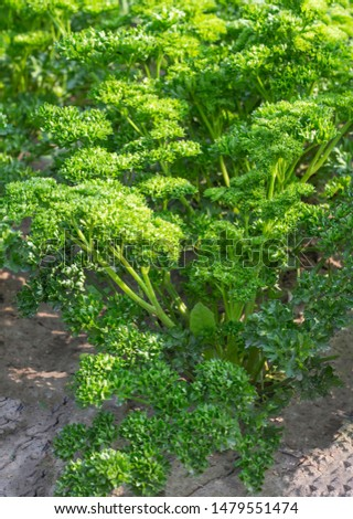 edible green plant is parsley Petroselinum crispum to be supplied fresh fresh