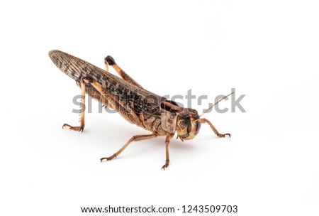 Edible insects (Locusta migratoria)