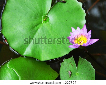 Edible Lotus Plant, Borneo