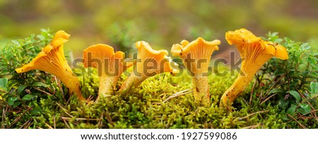 Edible mushrooms. Close up of chanterelle mushrooms in a forest