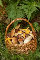 Edible mushrooms porcini in the wicker basket in green grass and fern leaves. Natural, forest, meadow