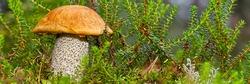 Edible orange-cap mushroom growing in green moss. Leccinum aurantiacum Harvesting mushrooms in forest. edible mushrooms in northern forests of europe.