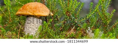 Edible orange-cap mushroom growing in green moss. Leccinum aurantiacum Harvesting mushrooms in forest. edible mushrooms in northern forests of europe. Сток-фото ©