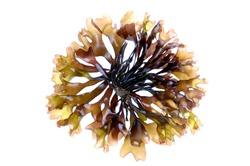 edible seaweed on white background