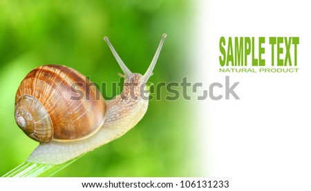 Edible snail (Helix pomatia) on the grass. Snails provide an easily harvested source of protein to many people around the world. Picture with space for your text.