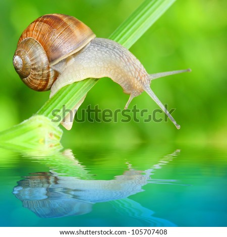 Edible snail (Helix pomatia) over a garden pond. Snails provide an easily harvested source of protein to many people around the world.