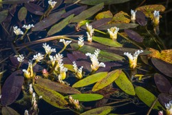 Edible white aquatic flower plant - aponogeton distachyos (waterblommetjie, water-floret, Cape-pondweed, water hawthorn, vleikos and Cape pond weed) in bloom.