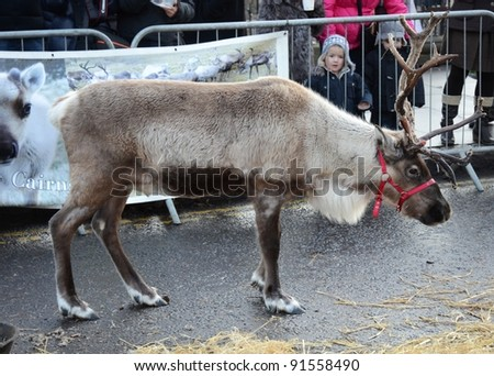 "EDINBURGH - DECEMBER 17: a reindeer on December 17, 2011 on Princes Street in Edinburgh, UK. Reindeer are included in Edinburgh's ""Winter Wonderland"" festivities for the first time this year. - stock photo"