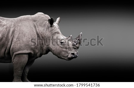 Edited portrait of a white rhinoceros (Ceratotherium simum) isolated with a black and white background with copy space for text. Endangered african white rhino under risk of extinction.  Сток-фото ©